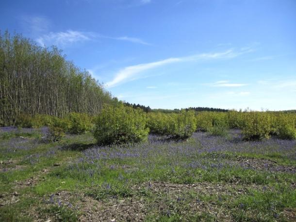 Bluebells in Kings Wood 2 - Kent