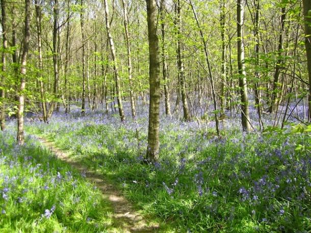 Bluebells - Kings Wood