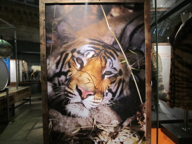 Tigers - Extinction Exhibition Natural History Museum