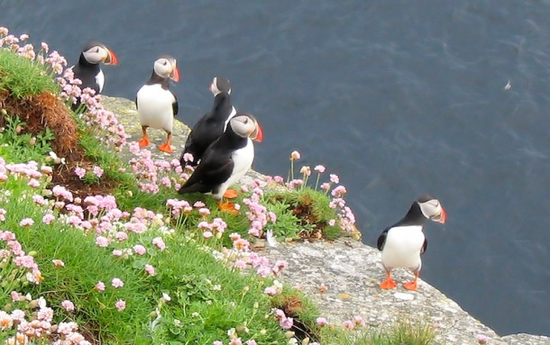 westray_puffins_1
