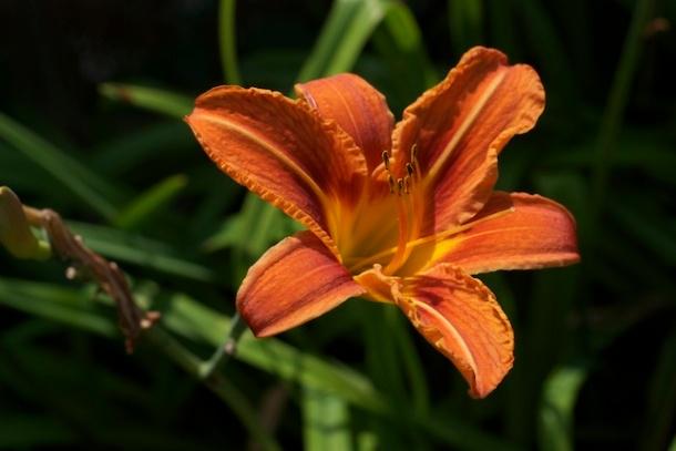 Day Lily - Faversham