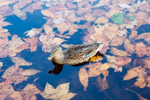 Lady duck - Italian Gardens - Hyde Park