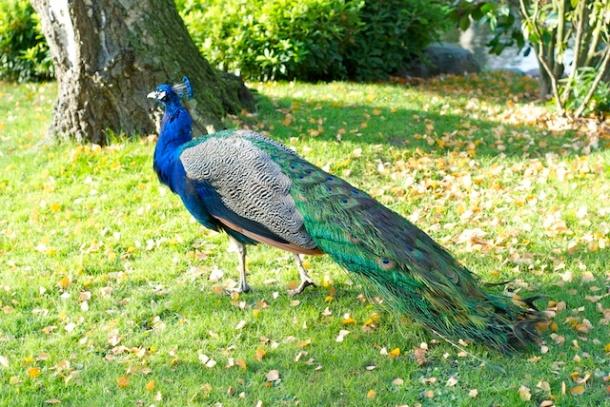 Mr Peacock - The Kyoto Garden