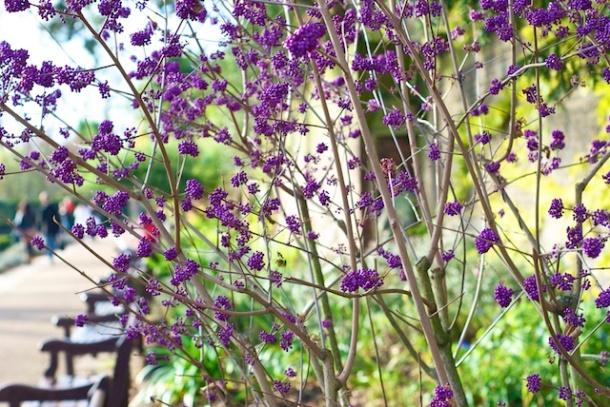 Purple Blooms - Holland Park