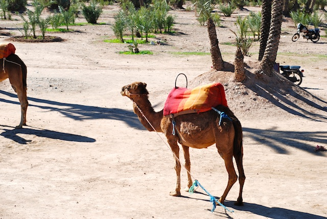 Camels in the Palmery - Marrakesh