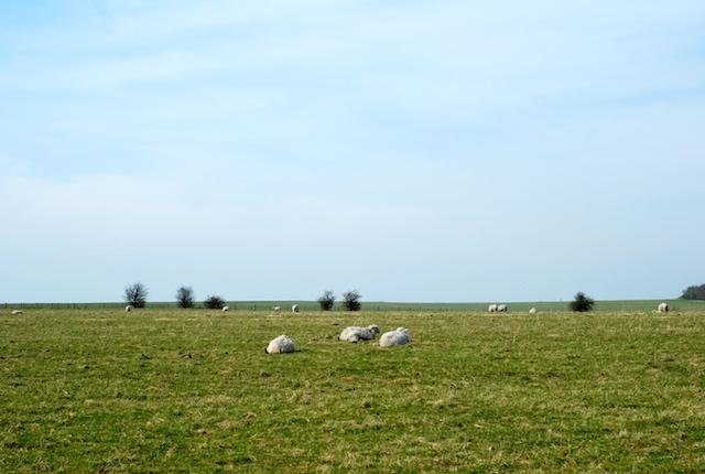 Sheep near Stonehenge - Wiltshire, England