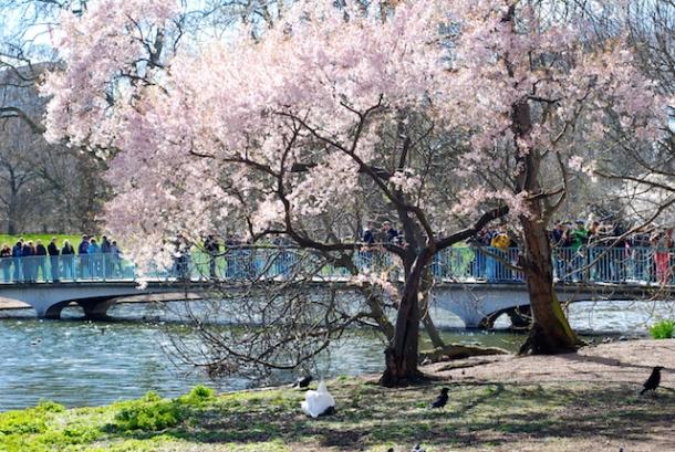 St James's Park Cherry Blossoms
