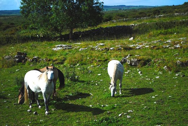 Horses in The Burren - County Claire, Ireland