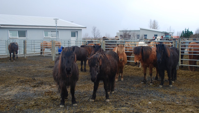 Icelandic Horses - Reykjavik to Vik - Iceland