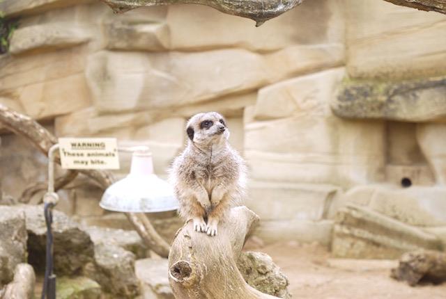 Meercat - Cotswold WIldlife Park
