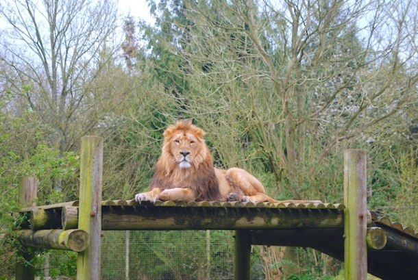Simba - The Cotswold Wildlife Park